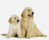 twee golden retrievers